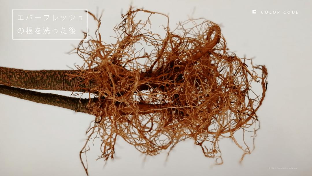 エバーフレッシュの根を洗った後